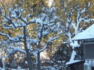Snow on the trees seems like a flower
