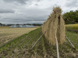 Metode pengeringan padi ini berusia ratusan tahun dan pemandangan ini bisa Anda jumpai di Kannami, jantungnya Prefektur Shizuoka