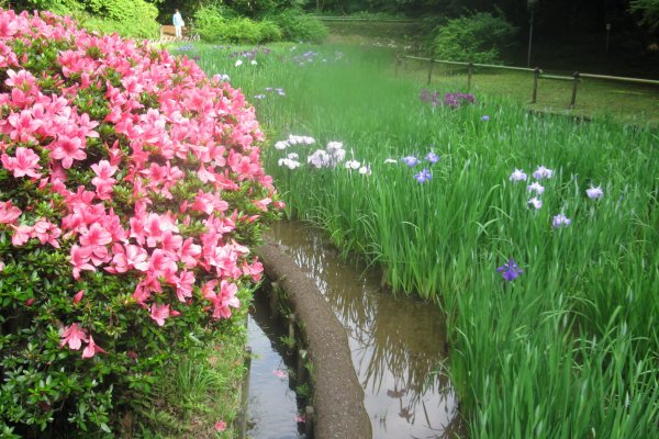 The irises in bloom