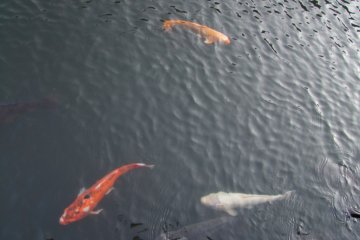Colorful koi swimming right up to you