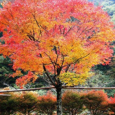 Fall Foliage in Gokanosho