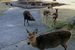 There about 20 people living on the island with about 20 to 40 times (400-800) as many deer!