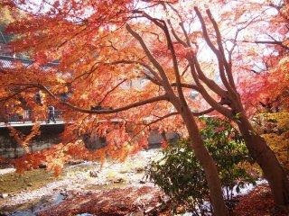 أشجار موميجي حمراء زاهية عند سفح الجبل بالقرب من محطة تاكاوسا نغوتشي نظرة خاطفة للتسلل إليها أكثر وأكثر