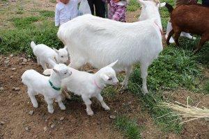 親子山羊たちはとても人なつっこく、子供たちに近寄ってくる