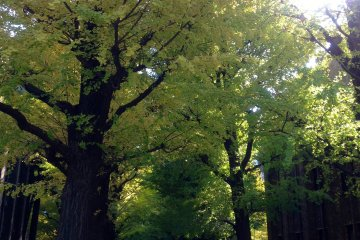 <p>The gingko trees as mid-November, with tinges of yellow starting to color the green leaves.</p>