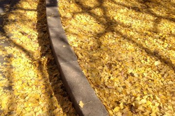 <p>Sunlit shadow of ginkgo branches on the soft carpet of fallen leaves.</p>
