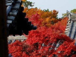 暗色の屋根瓦と美しい紅葉の組み合わせがあちこちで見られる