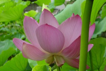 Lotus Ponds at Hachimangu Shrine
