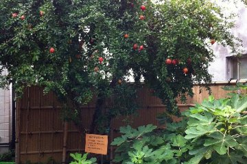 Fig and pomegranate trees in the garden