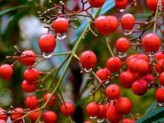 Trái cây đỏ mọngvới những giọt sương sớm