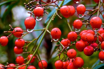 <p>Red seeds and droplets</p>