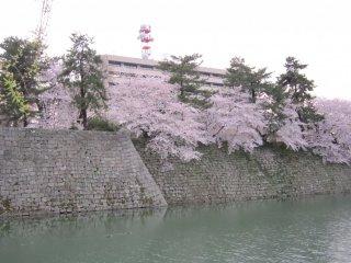 福井城址の桜、昼間の様子。城跡になんと近代的県庁舎が聳える