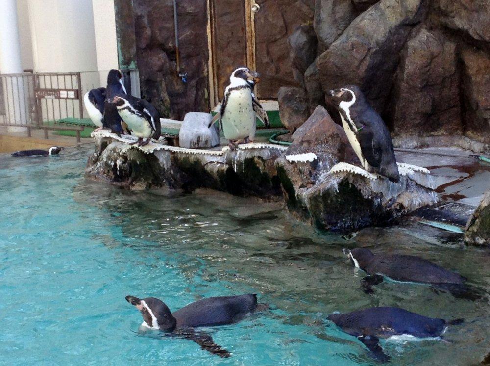 A área dos pinguins fica situada na praça principal. Há várias espécies nos dois recintos adjacentes. Os pinguins têm muita energia, soltando a sua voz frequentemente e nadando alegremente.