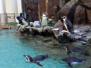 The penguin area is located in the main plaza. There are several species in the two adjacent enclosures. The penguins are very energetic, occasionallymaking noises and swimming around happily.