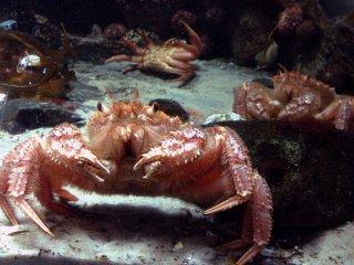 O rei dos caranguejos posa para uma fotografia. O seu desafortunado oponente no fundo esforça-se por recuperar a sua compostura.