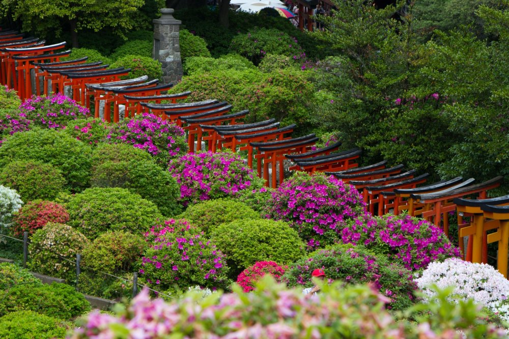 Close-up of the torii path surrounded by blooming azaleas