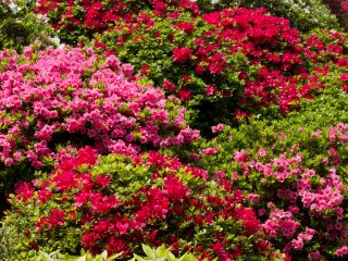 Azalea bushes in full bloom;you've got quite a variety of different colors here.