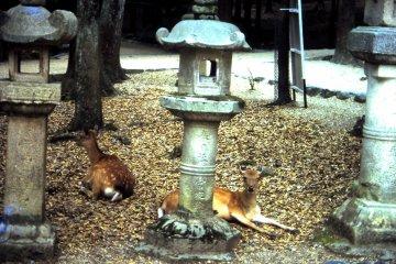 <p>Kasuga Taisha shrines&rsquo; stone lanterns alongside some deer</p>