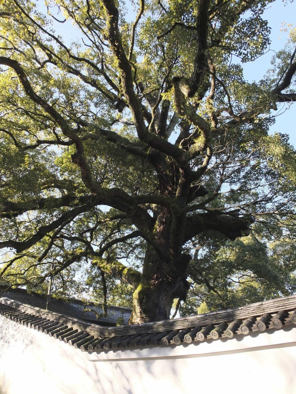 寺院内に5本ある樹齢800年の楠(クスノキ)
