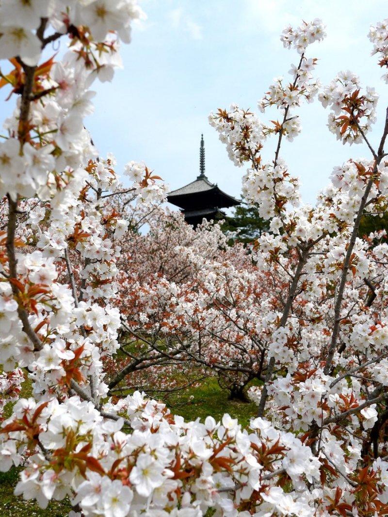 벚꽃에 둘러싸인 탑