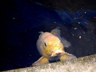 Beberapa ikan bersahabat! Tepuk tanganlah dan mereka akan datang!