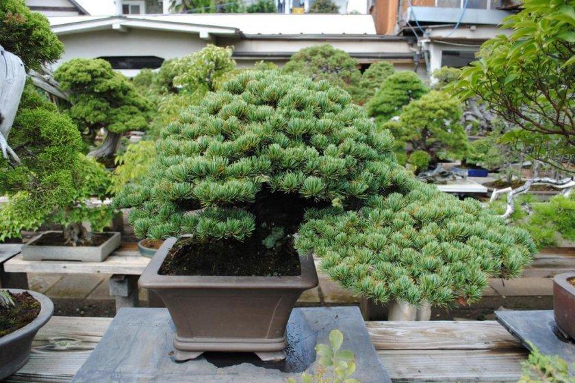 Bonsai from Toju-en, Omiya