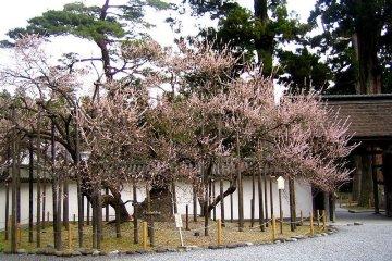 <p>Garyobai ต้นดอกพลัมสุดพิเศษในสวนกลางวัดซุยกันจิ</p>