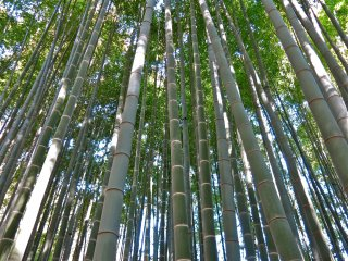 Appreciate the beauty of the Moso-bamboo all year round