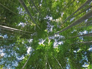 Looking up at the towering bamboo gives you a different yet awesome perspective