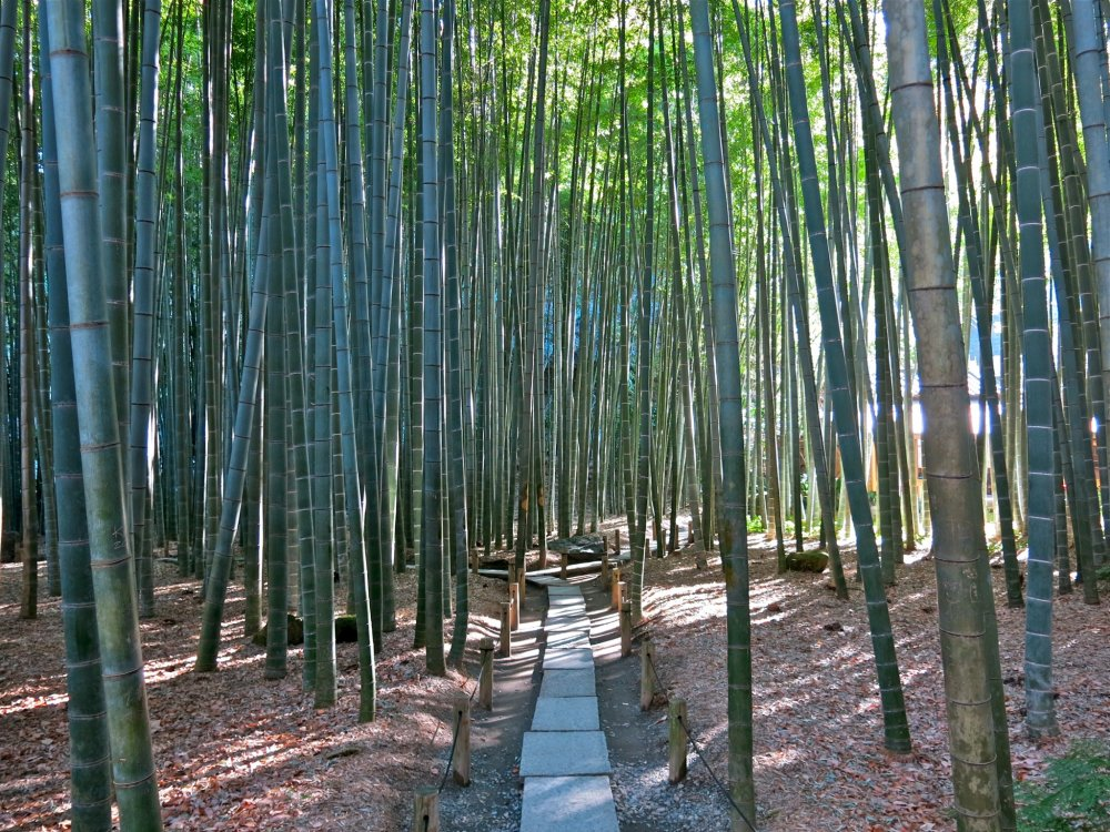 The beautiful bamboo garden at Hokokuji Temple (Admission fee 200 yen)