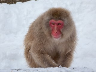Once you pay your 500 yen to enter the park, you'll start spotting monkeys almost immediately. From a distance, it can be hard to distinguish the brown-furred creatures from the brown rocks poking up through the snow, but you'll get the hang of it fast. You still have a 5 minute walk before you reach the actual hot spring.
