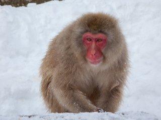 Ngay khi bạn trả 500 yên để vào công viên, bạn sẽ bắt đầu phát hiện những con khỉ gần như ngay lập tức. Từ xa, có thể khó phân biệt các sinh vật có màu nâu từ những tảng đá màu nâu nhô lên qua tuyết, nhưng bạn sẽ nhanh chóng nhận ra được nó. Bạn vẫn còn 5 phút đi bộ trước khi đến suối nước nóng thực sự.