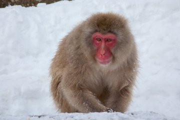 <p>Once you pay your 500 yen to enter the park, you&rsquo;ll start spotting monkeys almost immediately. From a distance, it can be hard to distinguish the brown-furred creatures from the brown rocks poking up through the snow, but you&rsquo;ll get the hang of it fast. You still have a 5 minute walk before you reach the actual hot spring.</p>