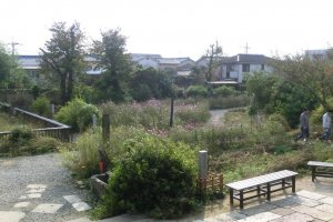 garden showing cosmos flowers