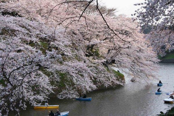 พายเรือในคลองได้ชมดอกซากุระบานในจิโดริกาฟุจิ