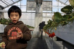 เด็กน้อยกำลังสนุกกับการวิ่งตัดผลสตรอเบอรี่สีแดงๆ ส่งให้คุณพ่อที่ทานได้ไม่อั้น
