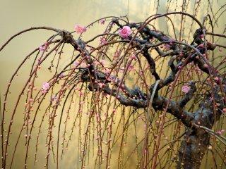 가지가 늘어진 핑크 매실