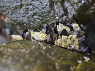 """This is kame-no-te, literally """"turtle foot,"""" an edible stalked barnacle (Capitulum mitella)"""