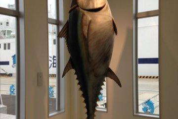 实体大小的大间金枪鱼。比我这个180米高、90公斤重的男人还高大!