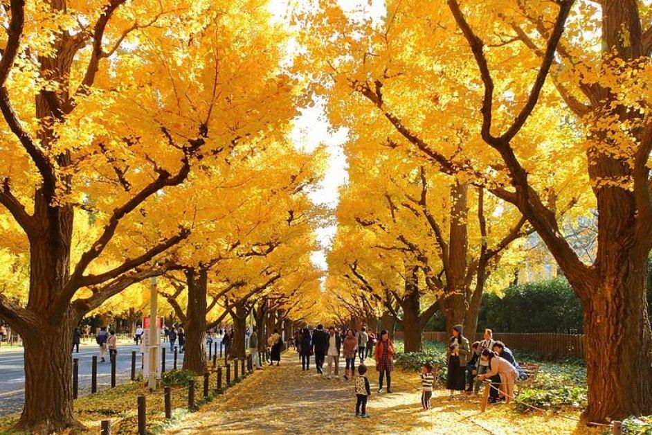 Wikimedia Commons https://commons.wikimedia.org/wiki/File:Jingu_Gaien_Ginkgo_Street_in_Autumn_5.jpg