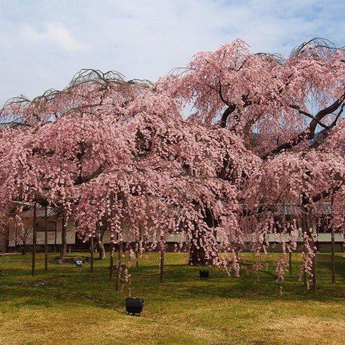 1000 Cherry Blossom Trees