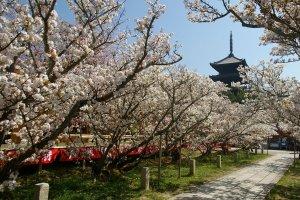 Omuro cherry blossom