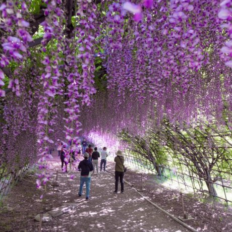 Kawachi Fujien Wisteria Garden
