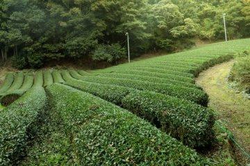 Shizuoka Green Tea Experience
